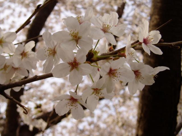 桜2008 007.jpg