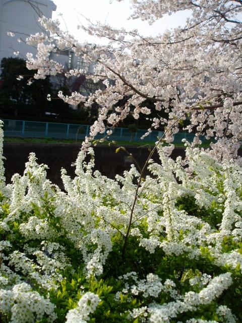 桜2008 012.jpg